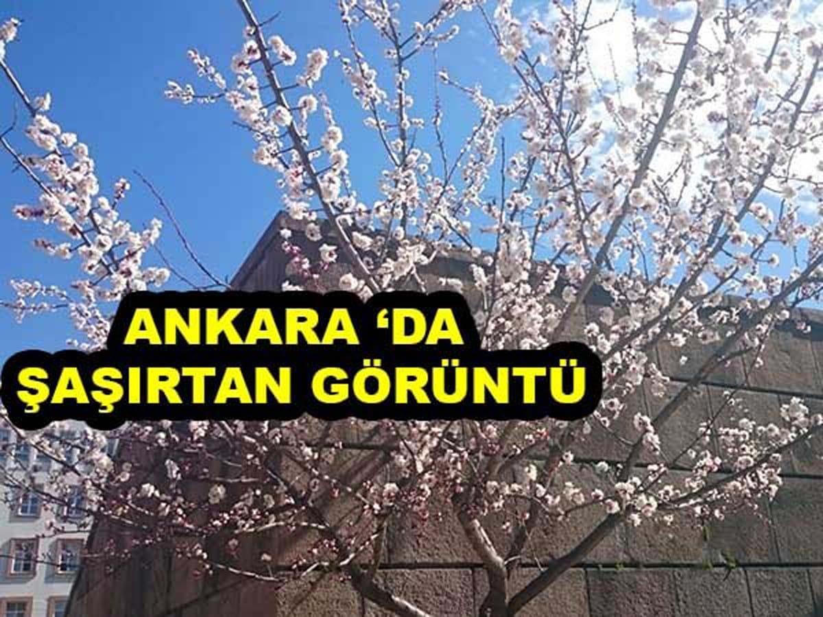 Ankara'ya Bahar Çok Erken Geldi Kayısı Ağacı Çiçek Açtı