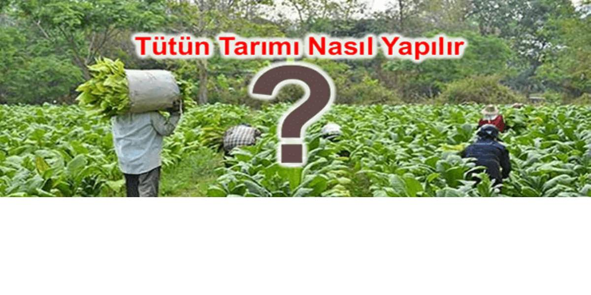 Ülkemizde Tütün Yetiştiriciliği ve Yöntemleri